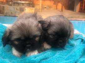 2 Male Pikengese puppies for sale1001