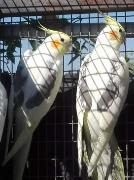 Mature cockatiels