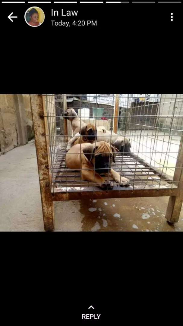 Boerbull puppys available 0