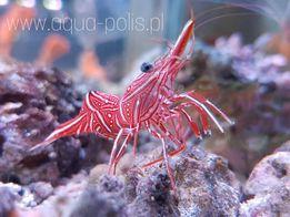 Rhynchocinetes durbanensis - krewetka tańcząca akwarystyka morska