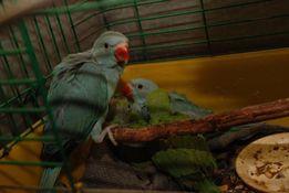 Ручной синий ожереловый попугай - птенцы выкормыши
