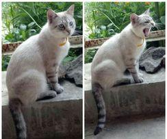 Вязка сиамский тайский кот