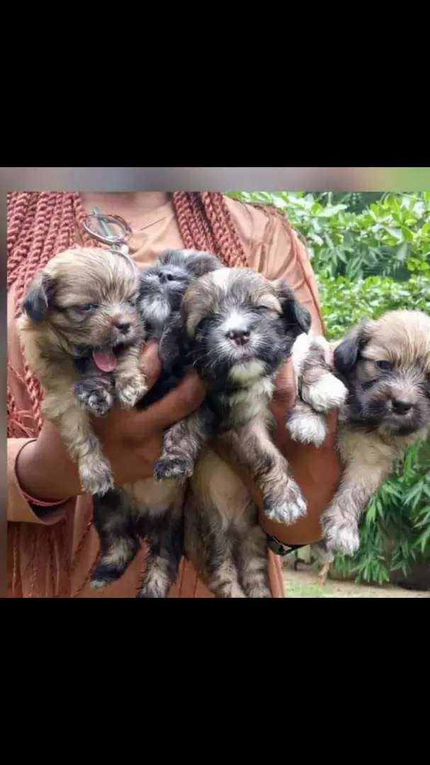 Heathy puppies ,vaccinated and dewormed 0
