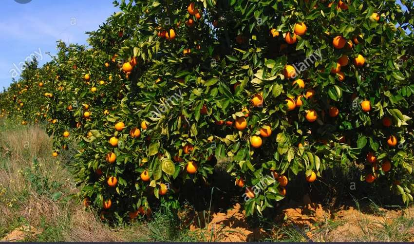 10 acres of Orange fruit 0