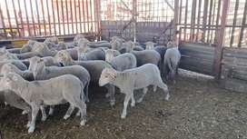 Qurbani Sheep and Cattle