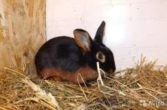Продам кроликов черно огненных