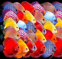 Дискус Красный Синий Туркис Аквариумные Рыбки