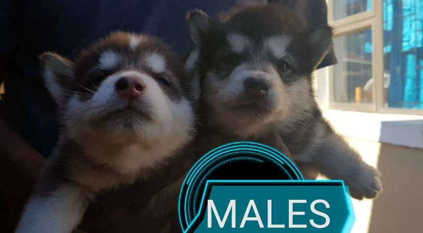 Husky puppies for sale 0