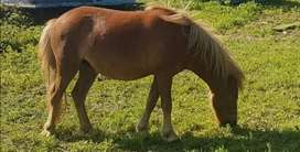 Registered MINIATURE HORSE MARE for sale