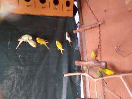 Budgies R 60 each