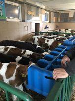 Byczki do dalszej hodowli