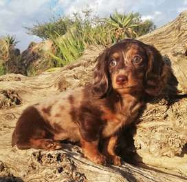 Stunning Chocolate and Dapple Longhair Dachshund Puppies