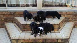 Border Collie puppies 7 weeks old