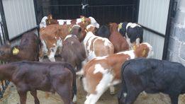 Cielaki byczki byki Cielęta Jałówki Każdy Piątek Krajowe