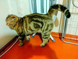 Вязка кот ( британский , шотландский , вислоухий )