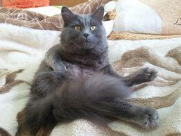 Шотланский голубой прямоухий кот!