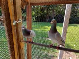 Homing/racing pigeons for sale