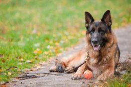 Кинолог Дрессировка собак