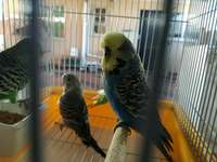Image of Show Budgies