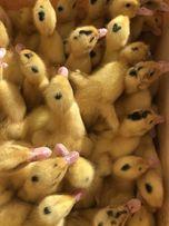 Kaczki mulard kilkudniowe (kaczogęsi)