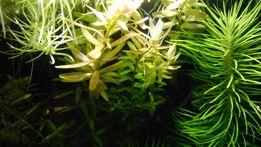 Rotala rotundifolia Indica Warszawa