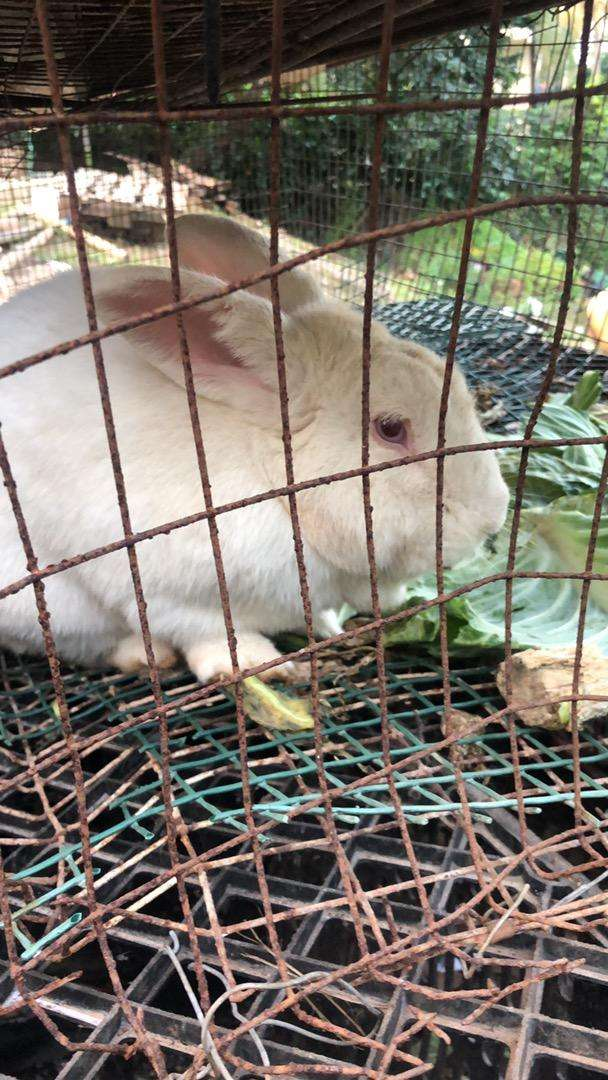 LOOKING FOR RABBITS FEMALES ONLY 0