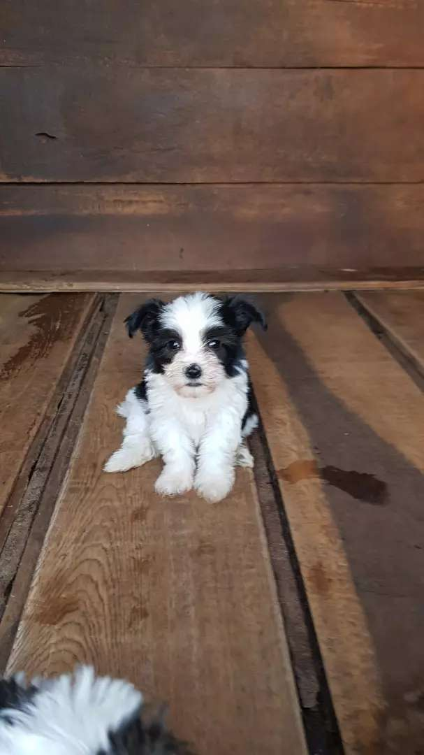 Gorgeous Maltese puppies available 0