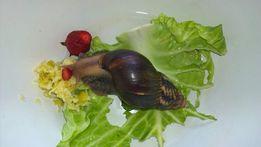 Улитки Ахатин-фулика (Achatina fulica)