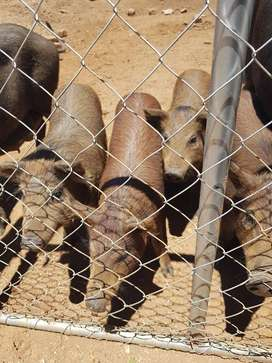 Pigs for Sale european wild boar pigs 13 weeks old