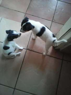 Fox Terrier  puppies  for sale