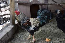 Beautiful American breed of Chickens