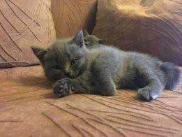Прямовухе кошеня в плюшевій шубці