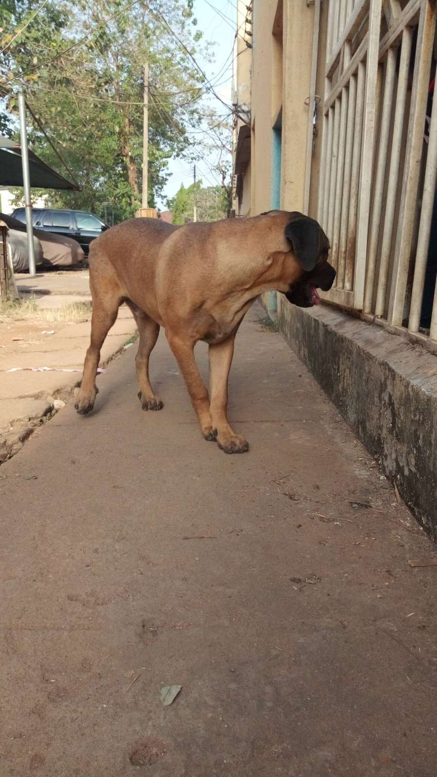 SIX MONTHS MALE BOERBOEL FOR SALE 0