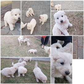 PURE BRED WHITE SWISS SHEPARD PUPS FOR SALE