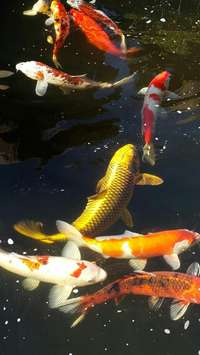 Image of Koi fish for sale