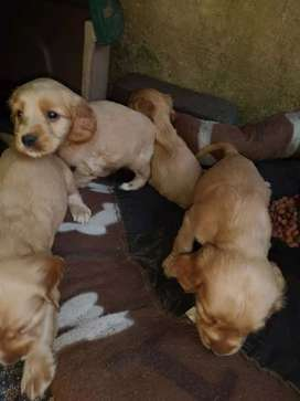 Golden Cocker Spaniel puppies