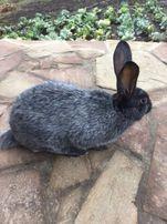 Кролики (кролі)