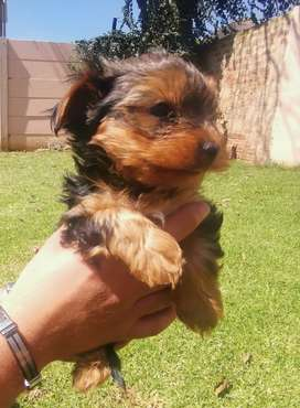 Purebred yorkshire terriers
