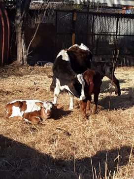 CALVES AND CATTLE