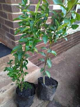 Grafted Citrus trees for sale