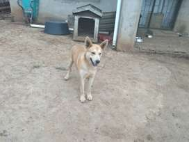 Husky cross looking for a loving home