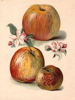 OWOCE XV piękne reprodukcje XIX w. grafik na ścianę