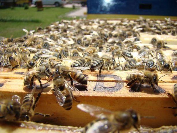 rodziny pszczele,odkłady,dadant,wielkopolskie,ule, Purda - image 3