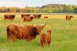 Szkockie Krowy Wysokogórskie (Highland Cattle)
