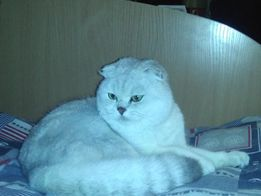 Шотландский вислоухий кот (скоттиш фолд) шиншилла