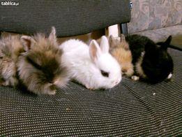 króliki miniaturki oryginalne