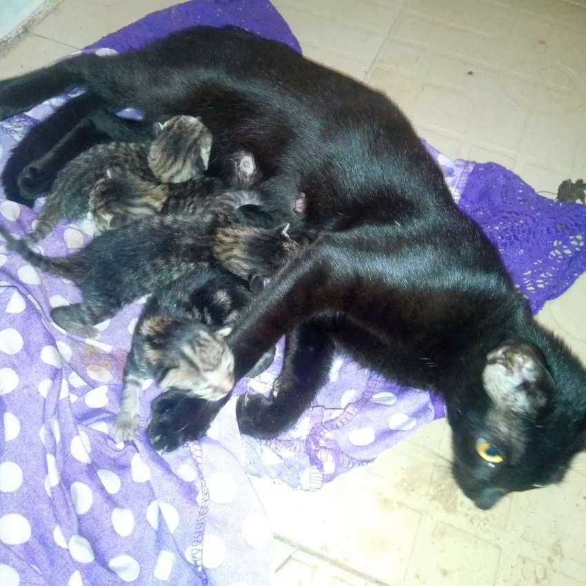 america boombay kittens of a pure breed imported mum. 0