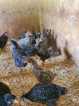 Zulu/indigenous Layer wholesale chickens