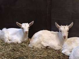 Saanen Goats for SALE