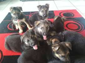 Stunning Purebred German Shepherd Puppies For Sale